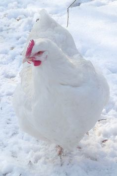 Poule Orpington Blanche ... that's a White Orpington Hen!
