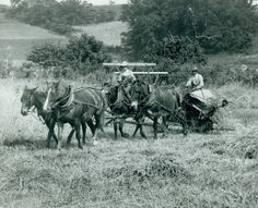 Farmer and son harvesting wheat with a mule-drawn binder. St. Louis County, MO. (1900)