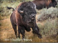 and break clear away, once in awhile, and climb a mountain or spend a week in the woods. Buffalo Painting, Buffalo Art, Water Buffalo, Bison Pictures, Animal Pictures, American Bison, American Indian Art, Scenic Photography, Animal Photography