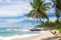 Picture of Tropical paradise in Sri Lanka, Tangalle with palms hanging over the beach and turquoise sea stock photo, images and stock photography. Sri Lanka Plage, Le Sri Lanka, Maldives, Orlando, Athens City, Destinations, Ocean Photography, Rest Of The World, Tropical Paradise