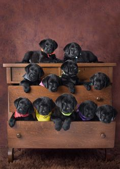 Mind Blowing Facts About Labrador Retrievers And Ideas. Amazing Facts About Labrador Retrievers And Ideas. Black Lab Puppies, Cute Puppies, Cute Dogs, Dogs And Puppies, Labrador Puppies, Doggies, Corgi Puppies, Black Puppy, Puppies Puppies