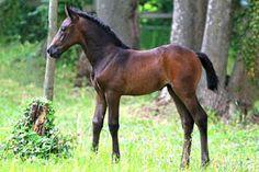 Cute bay foal