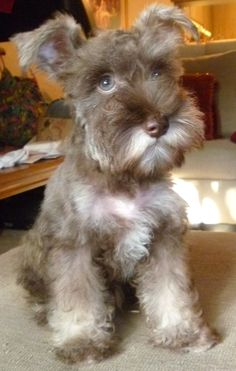 Mini Schnauzer OLIVER. omg so freaking cute!!!