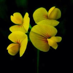 Cyprus wild yellow flower by George Konstantinou