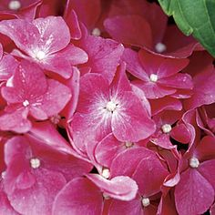 """Hydrangea macrophylla 'Pia'  / Pink Elf A dwarf Hortensia (or """"mophead""""), with globe-shaped flower heads made up of deep rose, 4-inch-wide flowers.  Care: Grow in moist, but well-drained soil, in sun to partial shade. Provide shelter from drying winds. 'Pia' flowers on the previous season's wood. It can be maintained by cutting back just to the first pair of buds beneath the old flower in spring."""