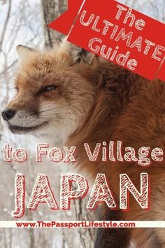 A must see bucket list item, learn how to travel to Fox Village in Japan | Japan Travel Tips via www.thepassportlifestyle.com/fox-village-japan Kawarago-11-3 Fukuokayatsumiya, Shiroishi, Miyagi Prefecture 989-0733