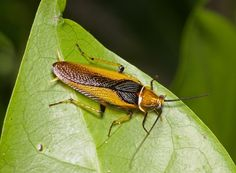 Ellipsidion Cockroach (Ellipsidion sp)