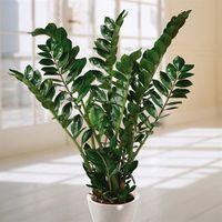 Zamioculca - Essa planta é resistente e continua bonita mesmo quando você esquece de cuidar dela. O ideal é que você regue uma vez por semana e fique atento ao sol, que não faz bem para o seu crescimento. Recomenda-se colocar sua planta à meia-sombra ou em ambientes com pouca luz. O sol direto não faz bem para seu crescimento, então recomenda-se colocá-la à meio-sombra ou em ambientes sem luz. Importante: todas as partes da planta são venenosas se ingeridas. Potted Plants, Green Plants, Outdoor Plants, Low Maintenance Indoor Plants, Zz Plant, Plant Images, Townhouse Garden, Plant Needs, Interior Plants