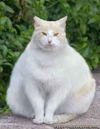 Fat kitty ---- (Ummmmm......Ya think!???? Lmbuttoff,  have seen at least One, through my Vet day's and hmmmm.....I think maybe this one may have the other beat! Wow! Yet!  He/She is Happy. ......so, that's all that matters! (Even if it is unhealthy. ......;)