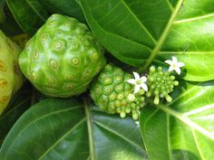 File:Noni fruits and flowers (Morinda citrifolia). Healthy And Unhealthy Food, How To Stay Healthy, Healthy Bodies, Healthy Eating, Noni Fruit Juice, Blueberry Juice, Plant Health, Fruit Seeds, Green Fruit