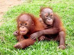 Orangutan conservation in Indonesia. Assist orangutan conservation efforts in Indonesian Borneo, from days) ex flights. Helping Dreamers Do Cute Animal Memes, Funny Animal Photos, Funny Animal Videos, Animal Pictures, Monkey See Monkey Do, Ape Monkey, Cute Baby Animals, Animals And Pets, Funny Animals