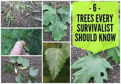 Wilderness Survival | 6 Wilderness Survival Trees Every Survivalist Should Know And Why | Learn the best types of trees when wilderness survival is crucial.
