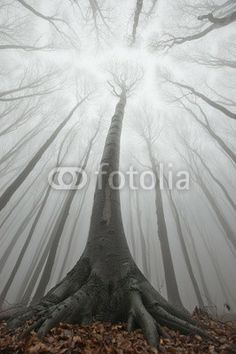 """""""Huge old tree in a forest with fog"""" wall mural."""
