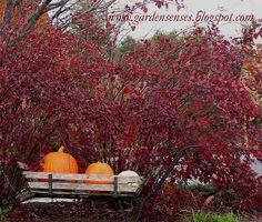 Next to house Garden Sense: Fall Color - Shrubs