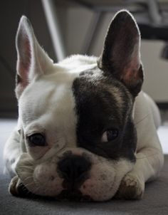 """'Welllll, look who's back"""". French Bulldog"""