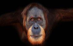 Orang-Utan © naturepl.com / Anup Shah / WWF