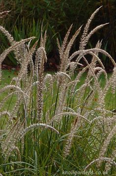 Pennisetum Fairy Tails | Knoll Gardens | Ornamental Grasses and Flowering Perennials