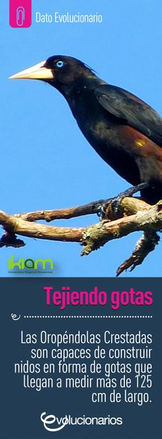 Las Oropéndolas Crestadas son capaces de generar estructuras en forma de gotas en las que hacen sus nidos y las tejen en base a una soga que se sujeta a las ramas de los árboles altos de la Amazonía.