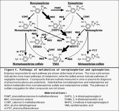 catecholamines metabolism - Google Search