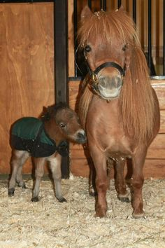 oh my word. Especially when you consider his Mama is just high! Cute Baby Horses, Tiny Horses, Pretty Horses, Horse Love, Show Horses, Beautiful Horses, Cute Baby Animals, Animals Beautiful, Animals And Pets