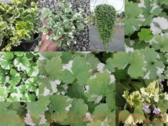 """Zádušník brečtanovitý """"panašovaný""""-(Glechoma hederacea """"variegata"""" L.) 2,45 € / rastlinka v kvetináči :: RASTLINKY BYLINKY Herbs, Plants, Herb, Plant, Planets, Medicinal Plants"""
