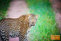 A Large Leopard Gives Me a Serious Look