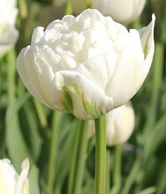mount tacoma tulip bulbs - Google Search - Peony looking -GREAT at NATURALIZING - Maintain look for years, spreading. Great zone 5