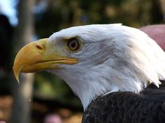 eagle pictures free for desktop