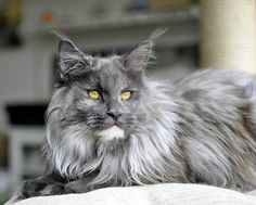 "Maine Coon. She is awesome! ""Dora""- Starbushway PanDora. Shedoros Maine Coon cattery in Germany."