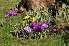 Krokusy - wiosenne kwiaty cebulowe. Kiedy i jak sadzić krokusy - - wymarzonyogrod.pl