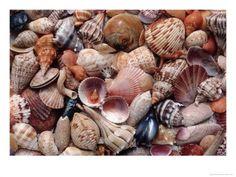 shells. went shelling today on Sanibel Island in Florida. it was fantastic.