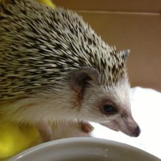 ♡Hedgehog♡