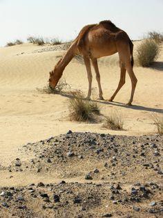 Arabian camel in the desert outside of Dubai.
