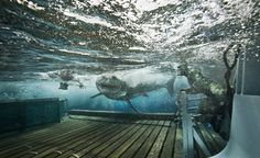 Co-Captain Jody Whitworth comes face to face with a great white shark they are guiding onto the platform to be lifted out of the water. The Great White, Great White Shark, Orcas, All Sharks, Shark Tale, Species Of Sharks, Save Our Oceans, Apex Predator, Shark Bites