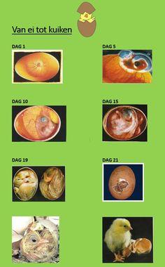 Weet jij hoe een kuikentje groeit in een ei?