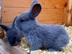 Continental giant rabbits for sale Cute Kawaii Animals, Cute Little Animals, Adorable Animals, Hamsters, Chinchillas, Funny Bunnies, Cute Cats, Netherland Dwarf Bunny, Dwarf Bunnies