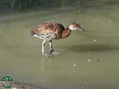 Yaguasa en el parque zoológico ornitológico de Avifauna Lugo