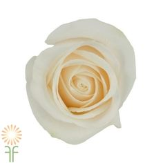Ivory Vendela Roses l Wholesale Flowers & DIY Wedding Flowers Fresh Flowers, Colorful Flowers, Bulk Flowers Online, Bulk Roses, Diy Wedding Flowers, Flower Delivery, Amazing Flowers, White Roses