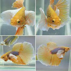 fwbettashm1470415207 - dum bo yellow white