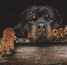 Adorable Rottweiler Smile Rottweilers Rottweiler Puppies Pinterest