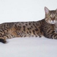 #dogalize Cat breeds: California Spangled Cat Characteristics, Personality #dogs #cats #pets