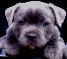 Austsaphire Blue English Staffordshire Bull Terriers are expecting a litter of beautiful blue babies on the 26/11/11. Taking deposits now 0438-393003 beautiful dogs and impeccable blood lines !