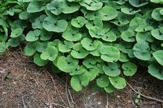 asarum europaeum - Google Search