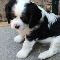 Tri-Colored Cavalier King Charles Puppy photos
