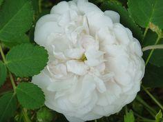 Madame Plantier Rose  An Alba Rose 1835