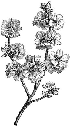 Flowering Branch of Amygdalus Communis