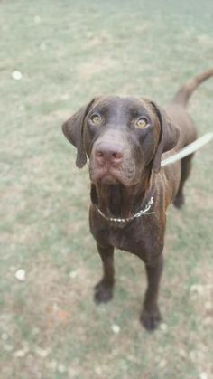 Sweet Mariah who is a 2 yr old choc lab mix ..is looking for her forever home in CO. Look at those eyes? She is saying yes I love snow and I am a lab mix. So I will be a great family dog, go with you everywhere. At 55 pounds she is sure to … Read More