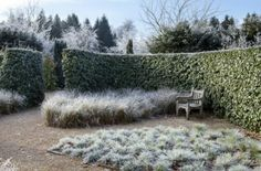 Elaeagnus macrophylla hedge with frost. Anglesey Abbey, Gardens and Lode Mill