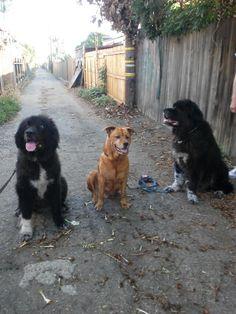 Nina, Chiona and Bubba. The 3 amigos.