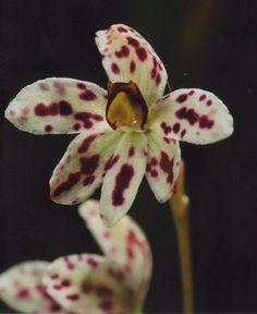 Thelymitra cucullata - Flickr - Photo Sharing!